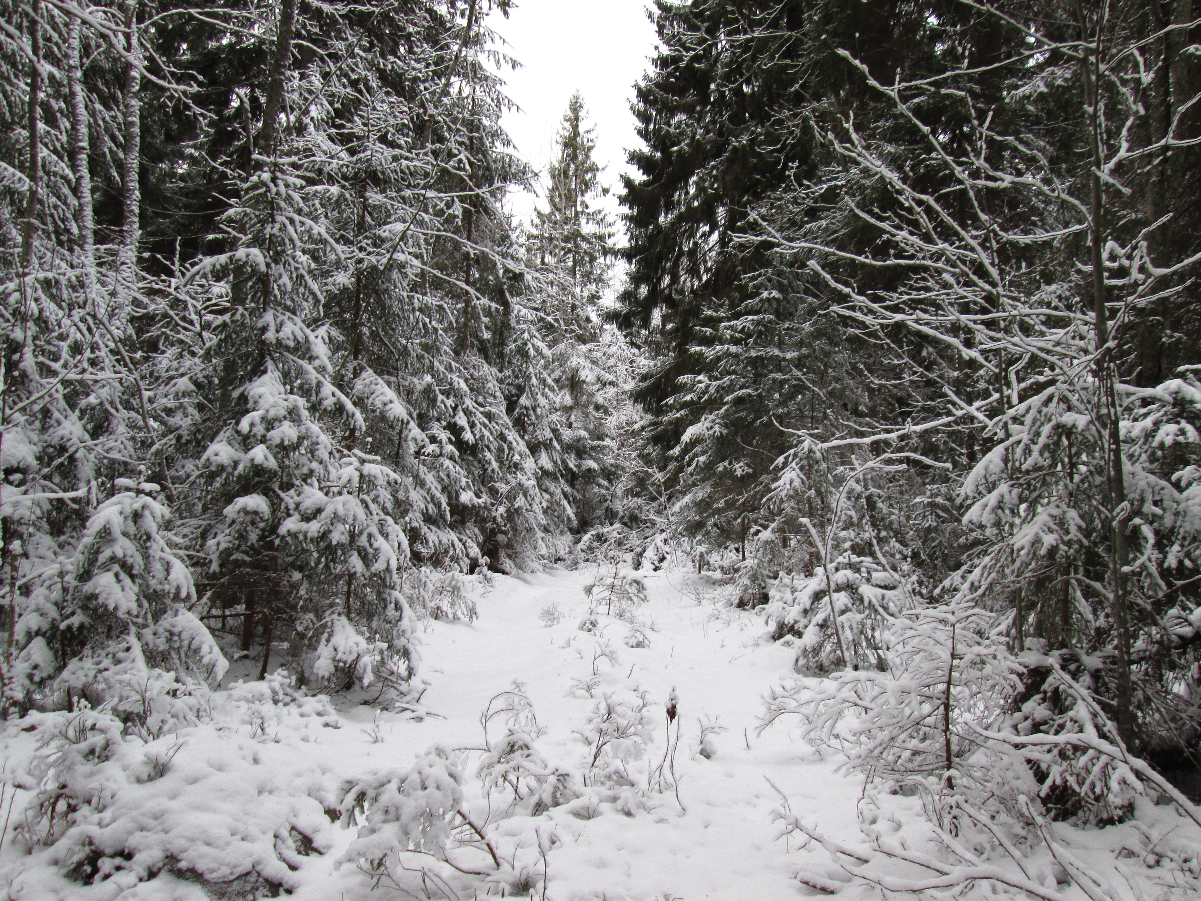 zimnii_les